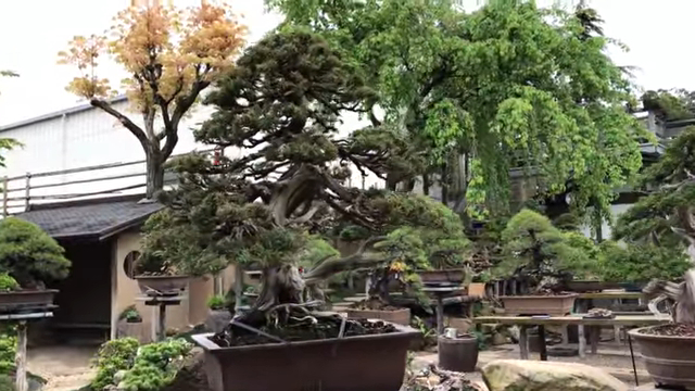Visiting the bonsai garden of Kunio Kobayashi